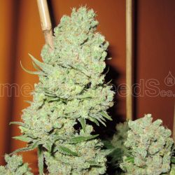 Channel + MEDICAL SEEDS 3szt.